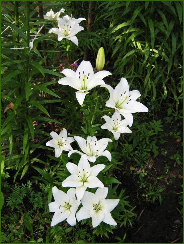 декоративные садовые цветы белые Лилия.